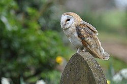 Tyto alba -England -perching on a headstone-8.jpg