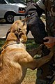 US Navy 030508-N-5812W-004 Military Working Dog, Rossi, shows his attack skills during a daily training exercise.jpg