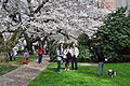University of Washington Quad cherry blossoms 2014 - 10 (13348069053).jpg