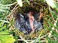 Unknown Nest 19-05-12 (7228232100).jpg