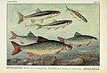 Unsere Süßwasserfische (Tafel 46) (6102605969).jpg