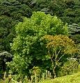 Urapán (Fraxinus uhdei) (14226878489).jpg