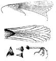 Urocynchramus pylzowi Przewalski drawing 1876.PNG