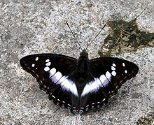 VB 023 Indian Purple Emperor.jpg