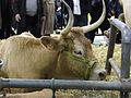 Vache-béarnaise SDA2013.JPG