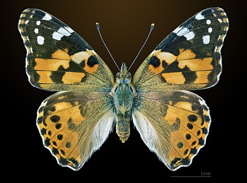 Raising Painted Lady Butterflies