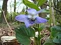 Veilchen (Viola).jpg