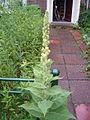 Verbascum thapsus plant1.jpg