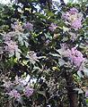 Vernonia arborea.jpg