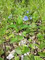 Veronica chamaedrys subsp. chamaedrys sl2.jpg