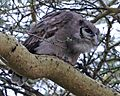 Verreaux's Eagle-Owl (Bubo lacteus) - Flickr - Lip Kee.jpg
