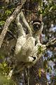 Verreaux's Sifaka - Zombitse - Madagascar MG 1771 (15283094501).jpg