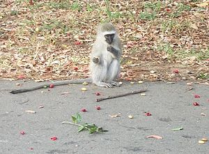 Amanzimtoti - A young vervet monkey on a road in Amanzimtoti
