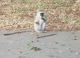 Amanzimtoti - A young vervet monkey on a road in Amanzimtoti