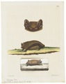 Vespertilio noctula - 1700-1880 - Print - Iconographia Zoologica - Special Collections University of Amsterdam - UBA01 IZ20800153.tif