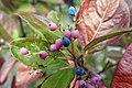 Viburnum nudum 'Winterthur' (Cultivar of Possumhaw Viburnum) 565-2016*G (37501585362).jpg
