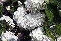 Viburnum opulus Roseum 4zz.jpg