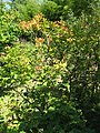 Viburnum trilobum2.jpg