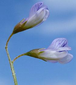 Vicia tetrasperma W.jpg