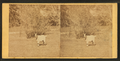 View of a goat, from Robert N. Dennis collection of stereoscopic views 2.png