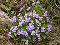Viola alba (15488104152).jpg