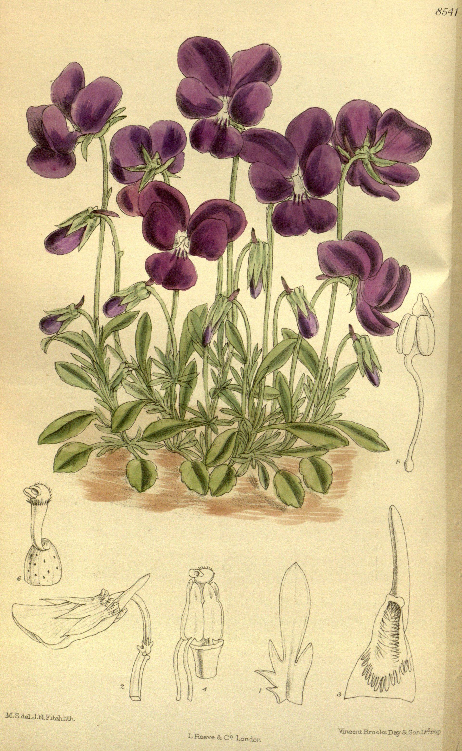 Viola  Wikipedia
