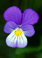 Viola tricolor - flower 01.jpg