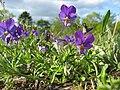 Viola tricolor ssp tricolor hald sø 2009-05-13 1.jpg