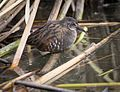 Virginia Rail at Cokeville Meadows NWR (21256261949).jpg