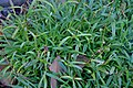 Viscaria vulgaris in Jardin botanique de la Charme.jpg