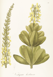 Vochysiaceae Family of flowering plants