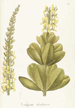 Vochysia herbacea fra Pohl (1827)