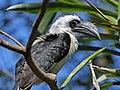 Von der Decken's Hornbill RWD2.jpg