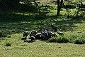 Vultures feasting in the Serengeti (2) (28551470271).jpg