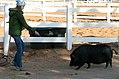 Walking the pig (4479882234).jpg