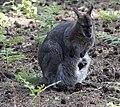 Wallaby (5696459035).jpg