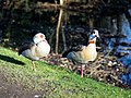 Wanstead Park Perch Pond, Egyptian geese, Epping Forest, England.jpg