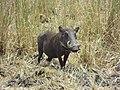 Warthog in the Bushes.jpg