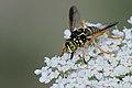 Wasp-mimic hoverfly (Spilomyia saltuum), Villeneuve-de-Berg, Ardèche, France (35654199194).jpg