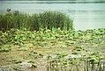 Water Lilies 021.jpg