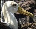 Waved Albatross (47987662306).jpg