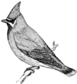 Waxwing (PSF).png