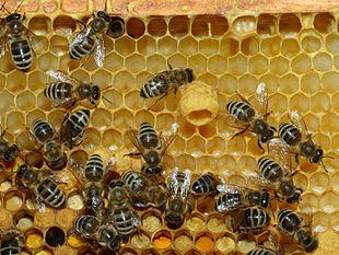 Alveare di Apis mellifera, ape sociale per eccellenza.