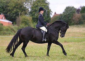 Cob (horse) - A Welsh Section D cob.