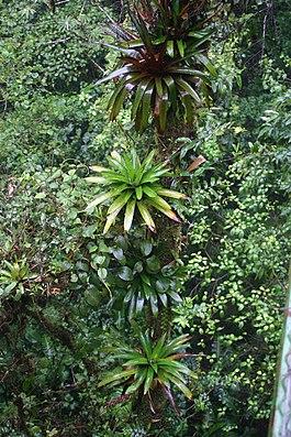 Werauhia spec., Epiphyten im Habitat in Costa Rica.