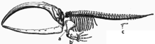 Medical diagram depicting the skeleton of a bowhead whale