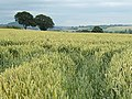 Wheat field near Merryhill Farm - geograph.org.uk - 887820.jpg