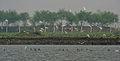 Whiskered Tern (Chlidonias hybridus) & Indian Cormorant (Phalacrocorax fuscicollis) W IMG 3731.jpg