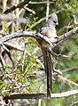 White-backed Mousebird (Colius colius) (44416483400).jpg