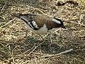 White-browed Sparrow-weaver Plocepasser mahali in Tanzania 1719 Nevit.jpg